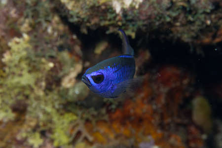 Blue chromis on coral reef off the tropical island of Bonaire in the Caribbean Netherlands.