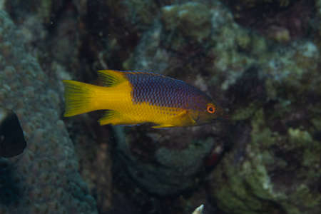 Juvenile Spanish hogfish on coral reef off the tropical island of Bonaire in the Caribbean Netherlands.