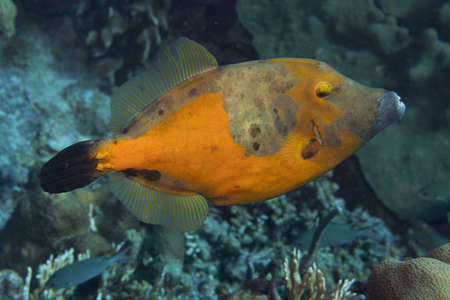 Whitespotted filefish orange phase on coral reef off the tropical island of Bonaire in the Caribbean Netherlands. Standard-Bild