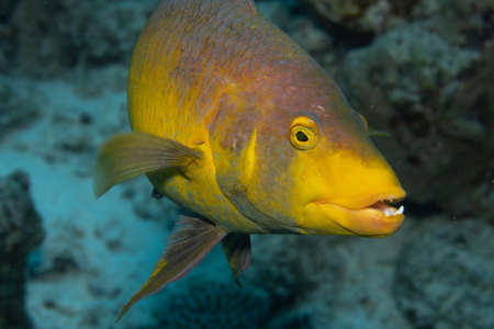 Spanish hogfish on coral reef off the tropical island of Bonaire in the Caribbean Netherlands.