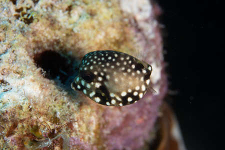 Juvenile Smooth trunkfish on coral reef off the tropical island of Bonaire in the Caribbean Netherlands. Standard-Bild