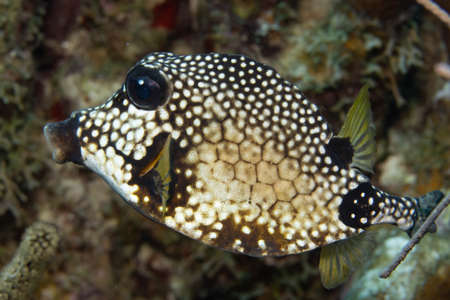 Smooth trunkfish on coral reef off the tropical island of Bonaire in the Caribbean Netherlands.
