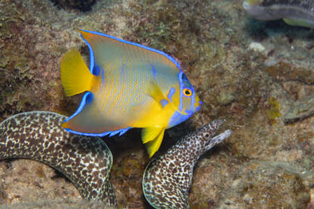 Juvenile queen angelfish in transition phase swimming past a spotted moray eel on coral reef off the tropical island of Bonaire in the Caribbean Netherlands.