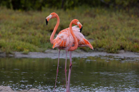 Pair of American flamingo on the tropical island of Bonaire, part of the Caribbean Netherlands.