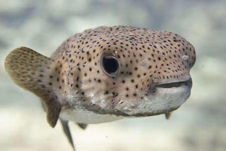 Pufferfish on coral reef off the tropical island of Bonaire in the Caribbean Netherlands.