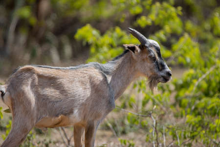 Wild goat on the tropical island of Bonaire, part of the Caribbean Netherlands.