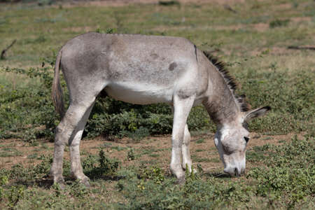 Wild donkey on the tropical island of Bonaire, part of the Caribbean Netherlands.