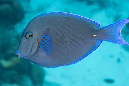 Atlantic blue tang on coral reef off the tropical island of Bonaire in the Caribbean Netherlands. Standard-Bild