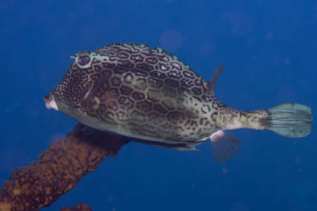 Honeycomb cowfish on coral reef off the tropical island of Bonaire in the Caribbean Netherlands.