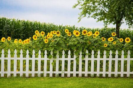 picket fence: Sunfowers growing behind a decorative white picket fence Stock Photo