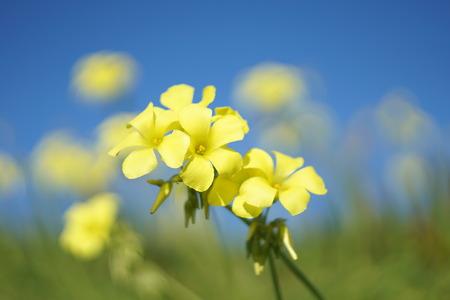 woodsorrel: oxalis pes-caprae flowers Stock Photo
