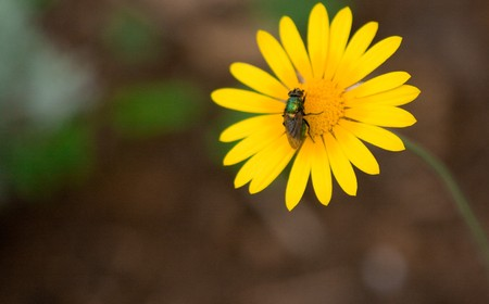 Fly in yellow flower photo