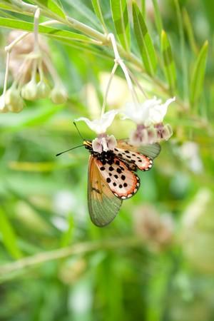 mariposa: Orange Buttefly sideways