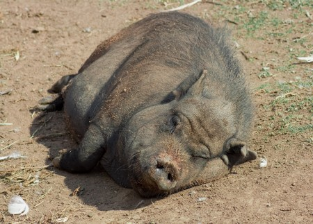 This is a lazy pig lying in the sun photo