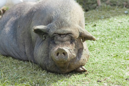 grunter: This is a wild pig lying in the sun