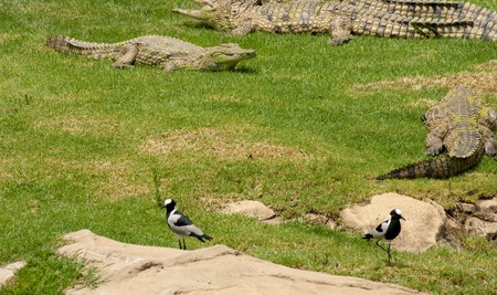concurrence: Crocodile on grass with birds inbetween Stock Photo