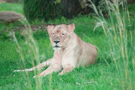 africat: Lion sitting in green grass lazzy and sleepy