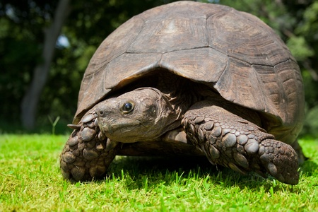 tardy: turtle in green grass