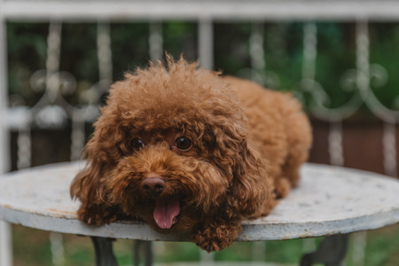 Red Toy Poodle Banque d'images