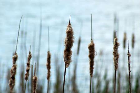 Une bande de la bullrush le long de la bordure d'un marais