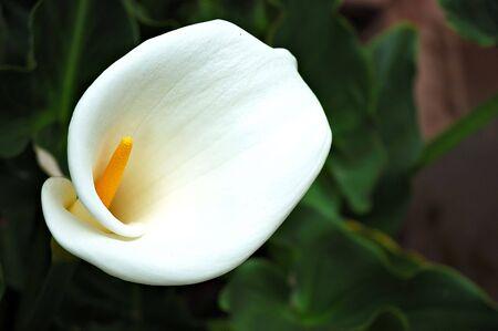 Un blanc calla Lilly dans la Vall�e sacr�e, P�rou