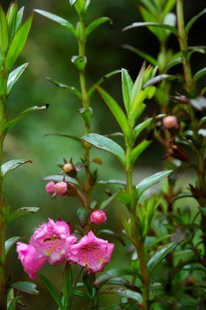 페루 잉카 트레일을 따라 펼쳐지는 핑크색 Foxglove