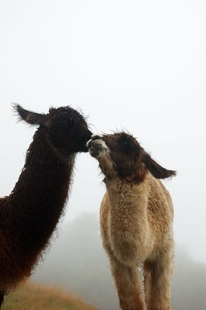 llamas with a foggy background photo