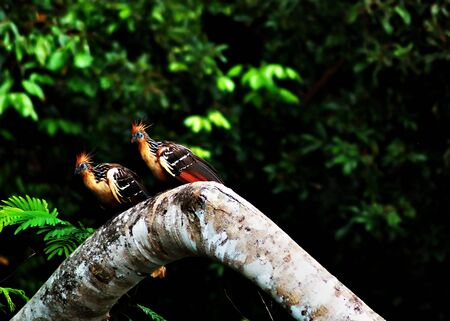 hoatzin birds in the Amazon Jungle, aka stinkbird