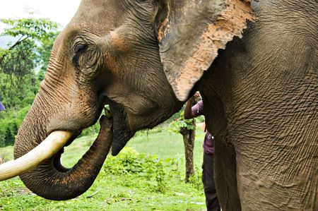 Elephant eating a green banana