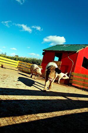 shy farm pig getting close tilting head Stock Photo - 2078754