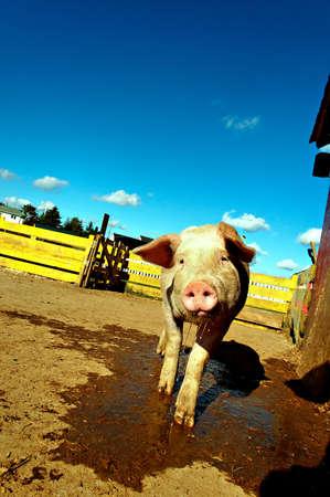 shy farm pig getting close tilting head drooling Stock Photo - 2078760