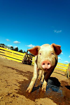 shy farm pig getting close tilting head drooling Stock Photo