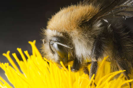 Bumble bee Stock Photo - 14963919