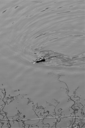 Glistening frog swimming in lake, shot in black and white Stock Photo