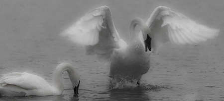 trumpeter swan: An Angelic Looking Trumpeter Swan Struts for Mate