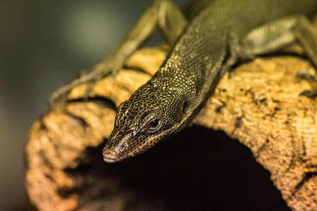 Lizard On Hollow Log Looking to Stalk Stock fotó