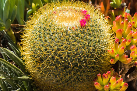 prickly flowers: Globe Cactus and Flower Stock Photo