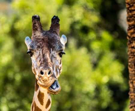Giraffe Making Funny Face Chewing Imagens - 52910701