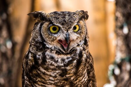 horned: Great Horned Owl Mouth Open Eyes Yellow and Sharp