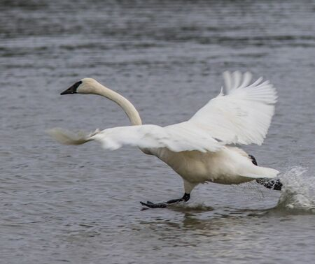 trumpeter swan: Trumpeter Swan Running on Water Heber Springs Migration Stock Photo