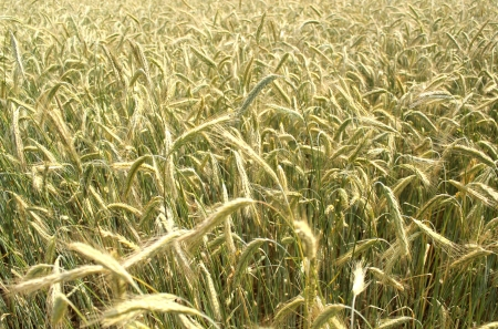 grain rye wheat field summer background  Stock Photo - 14530486