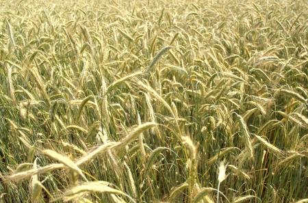 grain rye wheat field summer background Stock Photo - 14530486