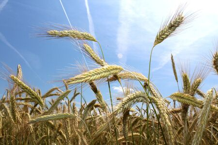 field of rye and blue summer sky Stock Photo - 14530443