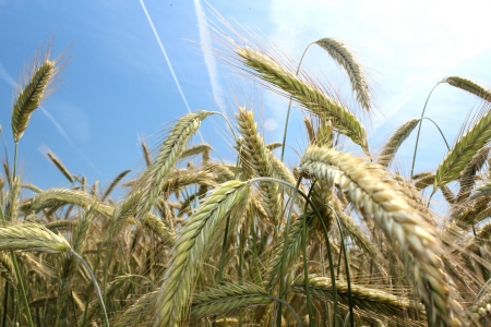 wheat field and blue summer sky  Stock Photo - 14530439