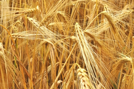 grain field Stock Photo - 14652881