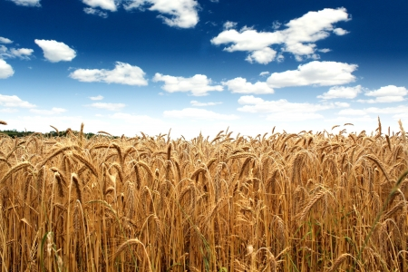 country wheat field under a beautiful blue sky photo