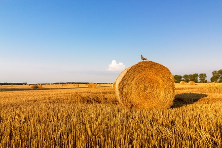 Bird sitting on a golden straw bale, summer landscape