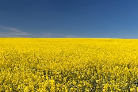 Field of bright yellow rapeseed in spring on blue sky. Rapeseed oil seed rape Zdjęcie Seryjne