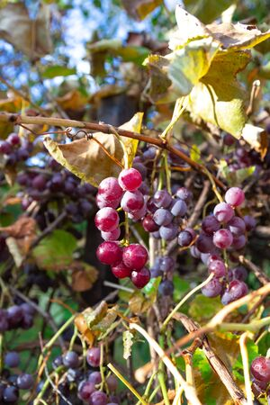 Ripe red grapes. Vineyard Nature background. Wine concept.