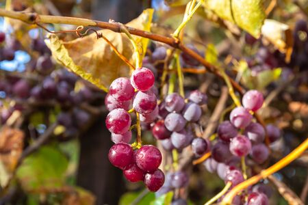 Bunches of red wine grapes on vine. Vineyard Nature background.
